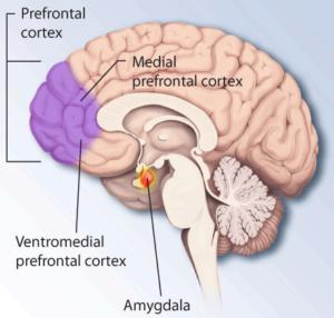 Ptsd-brain